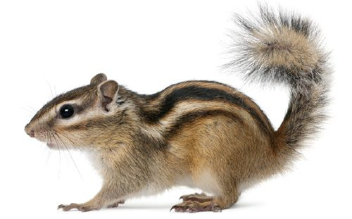 Are you ready for a chipmunk?
