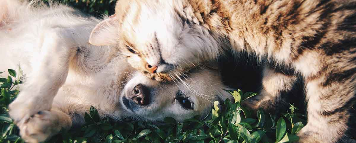 Cat and Dog playing