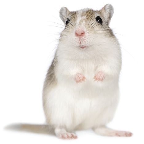 At home with your gerbil