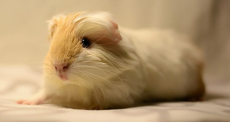 Are you ready for a guinea pig?