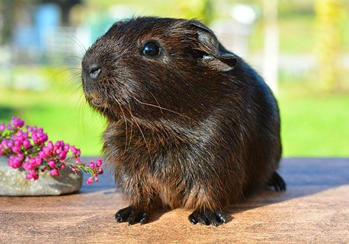 What to look for in a guinea pig