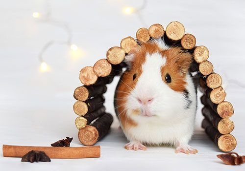 Buying a guinea pig