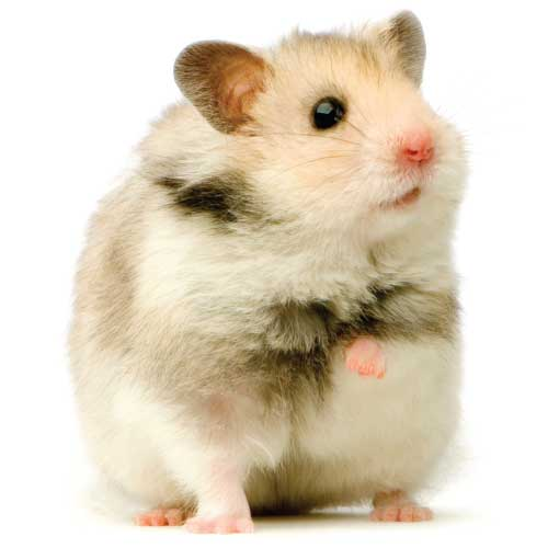 What to feed my Hamster