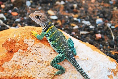 Lizard Competition