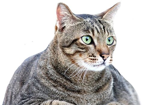 How to help your cat if it is overweight