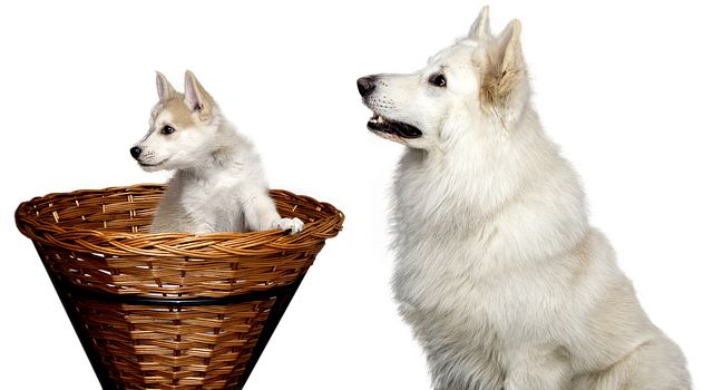 Puppy or Dog