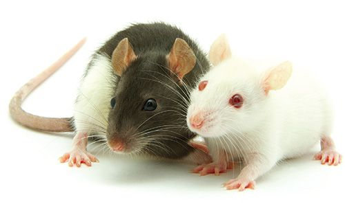 Looking after your rat