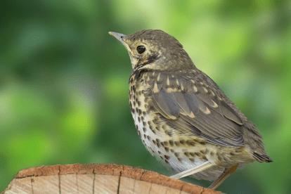 Thrush Bird